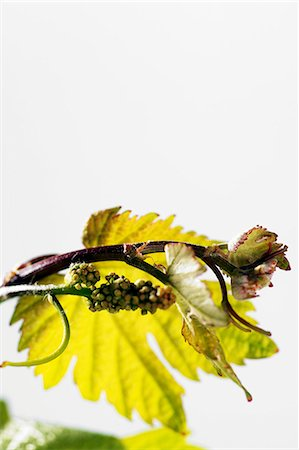 A young vine leaf with buds Stock Photo - Premium Royalty-Free, Code: 659-06307446