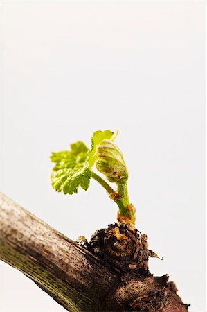 A vine with a young shoot Stock Photo - Premium Royalty-Free, Code: 659-06307447