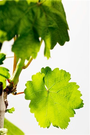 A spring vine with green leaves Stock Photo - Premium Royalty-Free, Code: 659-06307449