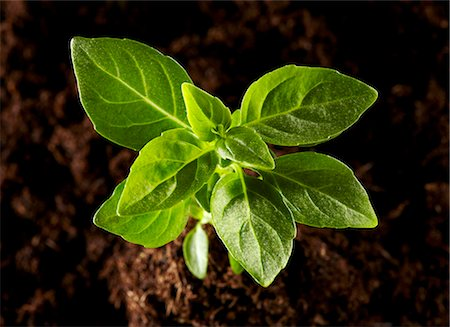plant (botanical) - A basil plant growing out of a pile of soil Stock Photo - Premium Royalty-Free, Code: 659-06307681