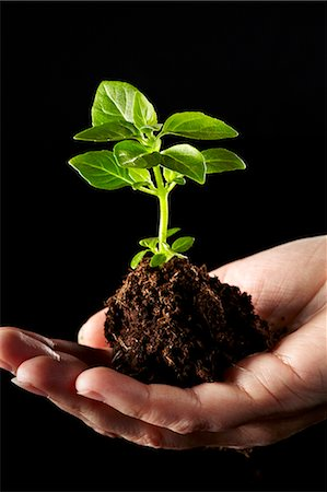 dirt - A hand holding a basil plants in a pile of soil Stock Photo - Premium Royalty-Free, Code: 659-06307682