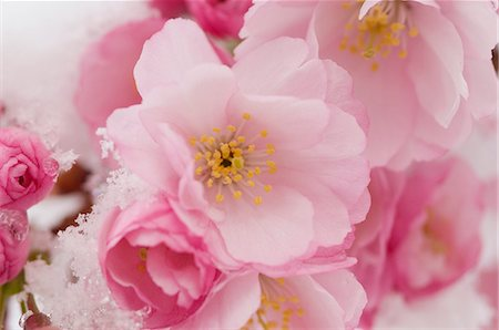 spring flowers - Cherry blossom Stock Photo - Premium Royalty-Free, Code: 659-06373447