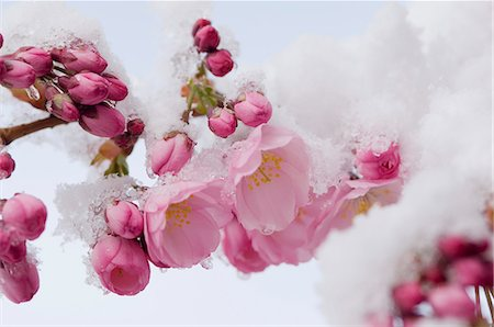 Snow-covered cherry blossom Stock Photo - Premium Royalty-Free, Code: 659-06373449
