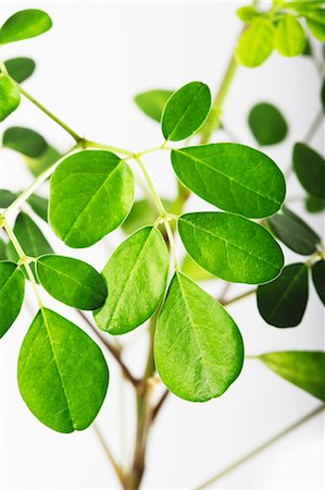Moringa leaves Stock Photo - Premium Royalty-Free, Code: 659-06494320