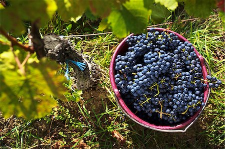 Grape harvesting in Burgenland: A bucket of Blaufränkisch grapes Stock Photo - Premium Royalty-Free, Code: 659-06493734
