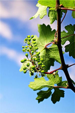 A vine in spring Stock Photo - Premium Royalty-Free, Code: 659-06493743
