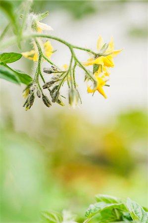 effect - Tomato flowers Stock Photo - Premium Royalty-Free, Code: 659-06902261