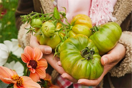 close up woman s hands holding green beef tomatoes in the garden outside in autumn Stock Photo - Premium Royalty-Free, Code: 659-06903197