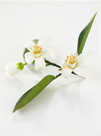 Orange blossom Stock Photo - Premium Royalty-Free, Code: 659-07027856
