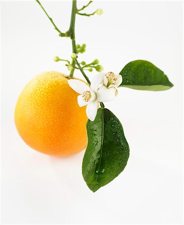 single fruits tree - An orange with flowers hanging from the stem Stock Photo - Premium Royalty-Free, Code: 659-07027858