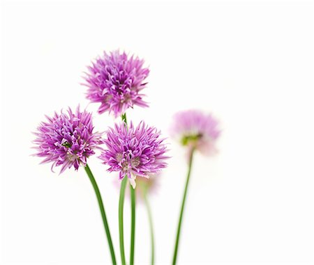 Chive flowers Stock Photo - Premium Royalty-Free, Code: 659-07069692