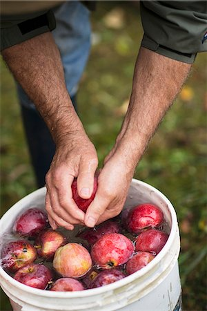season - A Man Rinsing Fresh Picked Apples in a Bucket of Water Stock Photo - Premium Royalty-Free, Code: 659-07069717