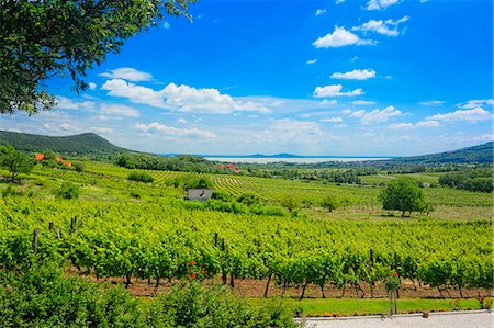 A panoramic view over the wine-growing region of Badacsony, Lake Balaton, Hungary Stock Photo - Premium Royalty-Free, Code: 659-07069754