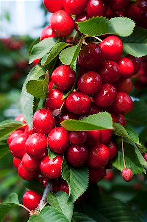 Cherries on the tree (close-up) Stock Photo - Premium Royalty-Free, Code: 659-07597339