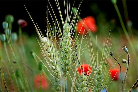 A field of wheat with poppies (section) Stock Photo - Premium Royalty-Free, Code: 659-07597848