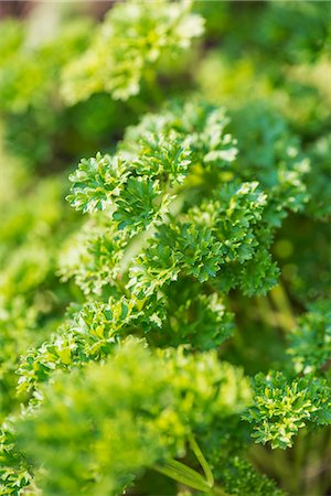 Parsley (Petroselinum Crispum Crispum) growing in garden Stock Photo - Premium Royalty-Free, Code: 659-07598374