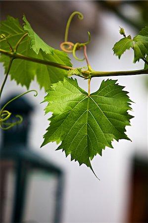 Vine foliage outside a wine bar Stock Photo - Premium Royalty-Free, Code: 659-07598932