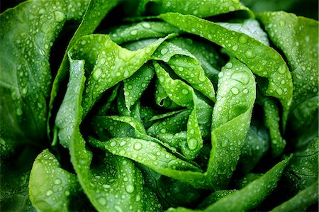 A freshly washed lettuce (seen from above) Stock Photo - Premium Royalty-Free, Code: 659-07738887