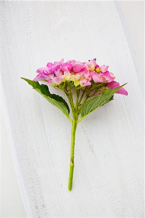 A pink hydrangea on a white wooden surface Stock Photo - Premium Royalty-Free, Code: 659-07739877