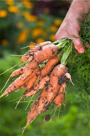 A man in a garden holding a bunch of freshly harvested carrots Stock Photo - Premium Royalty-Free, Code: 659-07959385