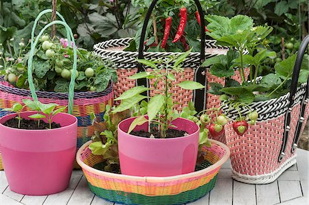 different - Basil seedlings in pink plastic pots, and tomato and strawberry plants in baskets made of woven plastic Stock Photo - Premium Royalty-Free, Code: 659-08147615