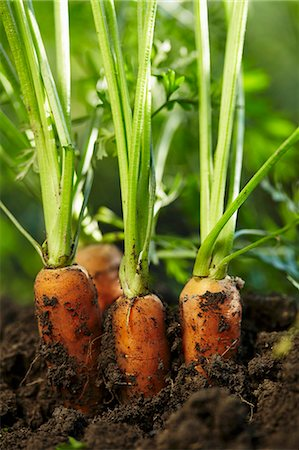 dirt - Carrots half out of the soil Stock Photo - Premium Royalty-Free, Code: 659-08419158