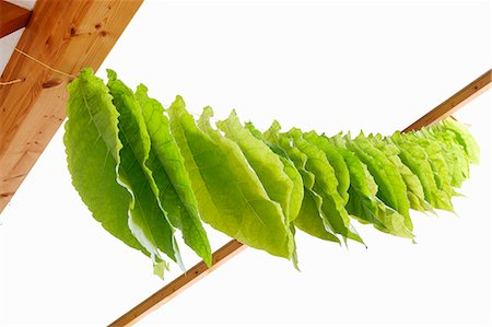 dry - Tobacco leaves drying on a line Stock Photo - Premium Royalty-Free, Code: 659-08906542