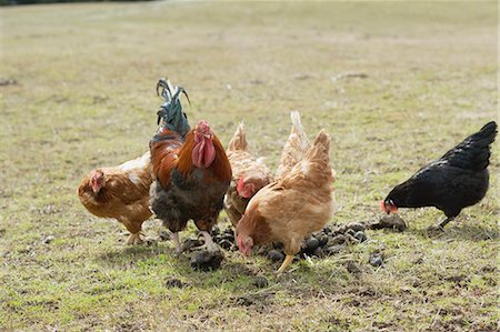 Hens in a pasture Stock Photo - Premium Royalty-Free, Code: 659-03529884