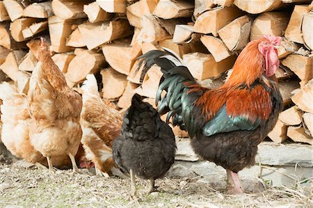 Hens in front of a woodpile Stock Photo - Premium Royalty-Free, Code: 659-03529887
