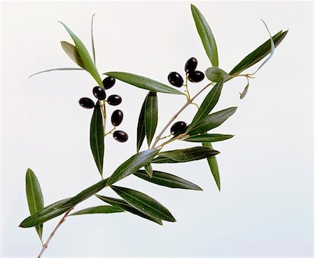 Olives on branch Stock Photo - Premium Royalty-Free, Code: 659-03534626