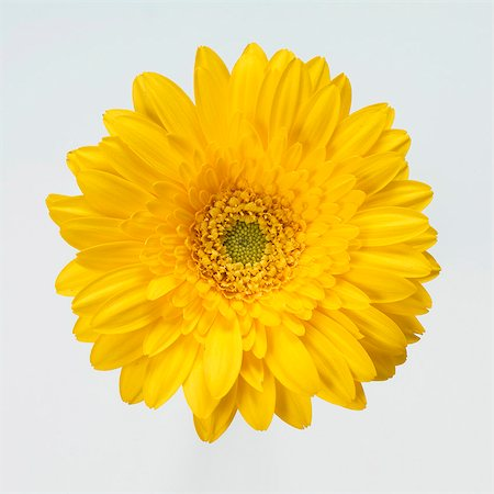 Yellow gerbera Stock Photo - Premium Royalty-Free, Code: 659-03535792