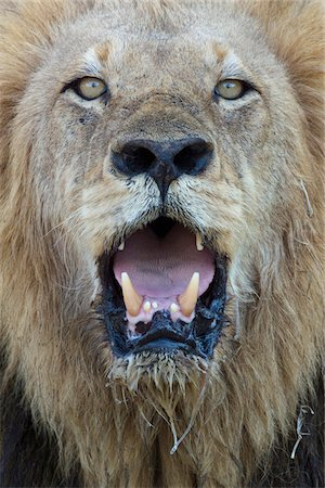 Close-up, male lion panting, looking at camera Stock Photo - Premium Royalty-Free, Code: 653-05976019