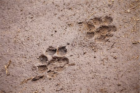 dirt - A pair of lion paw prints, close-up Stock Photo - Premium Royalty-Free, Code: 653-05976030