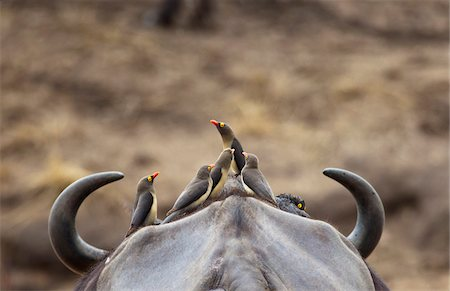 friendship - Five Yellow-billed Oxpeckers perching on head of Cape Buffalo Stock Photo - Premium Royalty-Free, Code: 653-05976044