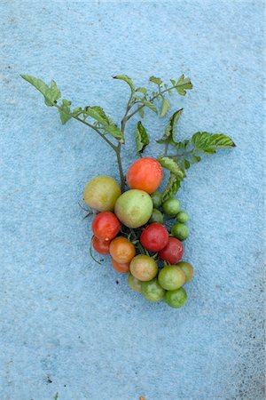 Tomatoes on a vine Stock Photo - Premium Royalty-Free, Code: 653-05976129
