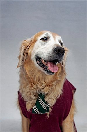 represented - A golden retriever wearing a tie and sweater vest Stock Photo - Premium Royalty-Free, Code: 653-06534047