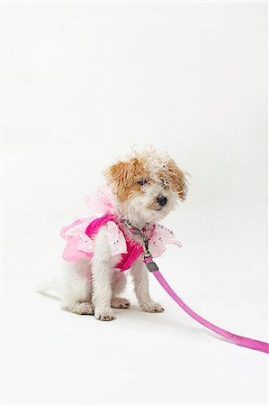 represented - A mixed breed dog wearing a pink fairy costume Stock Photo - Premium Royalty-Free, Code: 653-06534049