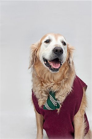 represented - A golden retriever wearing a tie and sweater vest Stock Photo - Premium Royalty-Free, Code: 653-06534054