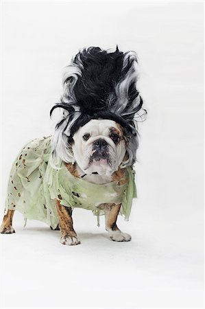represented - An English Bulldog in costume as the bride of Frankenstein Stock Photo - Premium Royalty-Free, Code: 653-06534050