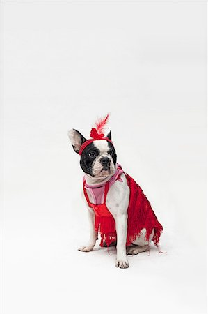 represented - A French Bulldog wearing a red flapper costume Stock Photo - Premium Royalty-Free, Code: 653-06534051