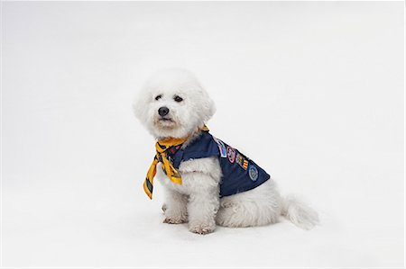 represented - A Bichon Frise wearing a Boy Scout costume Stock Photo - Premium Royalty-Free, Code: 653-06534053