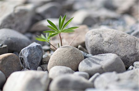 shadow - An uncultivated plant growing amongst a heap of rocks, close-up Stock Photo - Premium Royalty-Free, Code: 653-06534073