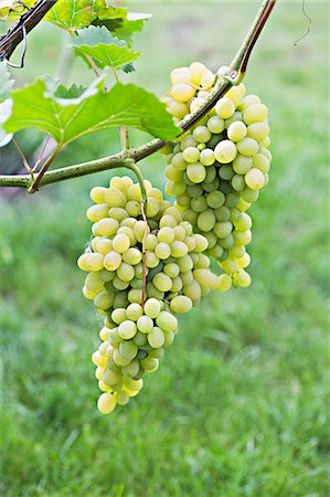 Bunches of ripe white grapes hanging from a vine Stock Photo - Premium Royalty-Free, Code: 653-06534768