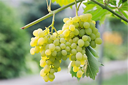 Bunches of ripe white grapes hanging from a vine Stock Photo - Premium Royalty-Free, Code: 653-06534763