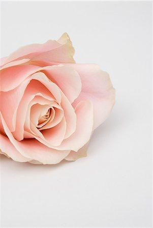 rose - Pink rose Stock Photo - Premium Royalty-Free, Code: 653-06534984