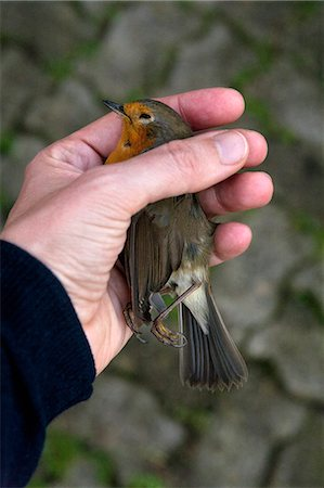 A woman holding a dead European Robin, close-up of hand Stock Photo - Premium Royalty-Free, Code: 653-06535038