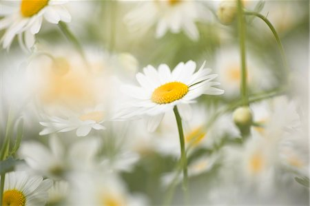 framed (photographic border showing) - Detail of daisies Stock Photo - Premium Royalty-Free, Code: 653-06533891