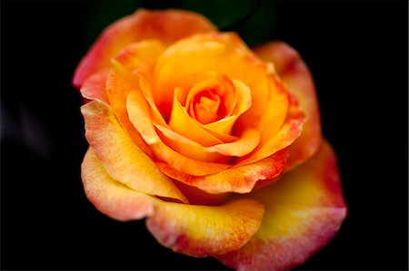 rose - A single yellow rose with red tipped petals, close-up Stock Photo - Premium Royalty-Free, Code: 653-06819513