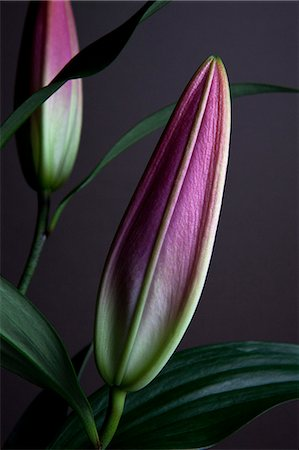 The buds of two Easter Lilies (Lilium Longiflorum) waiting to bloom, close-up Stock Photo - Premium Royalty-Free, Code: 653-06819711