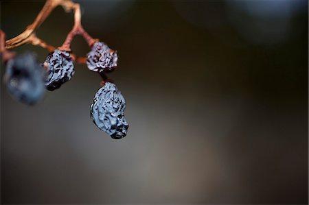 Still life of raisins on the vine Stock Photo - Premium Royalty-Free, Code: 653-07233723
